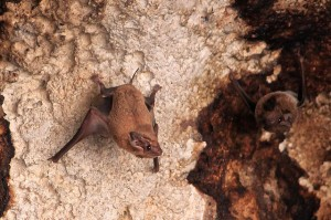 Bat at the Cave Entrance to Tabon Caves