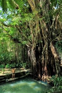Enchanted 400-Year-Old Balete (Banyan) Tree
